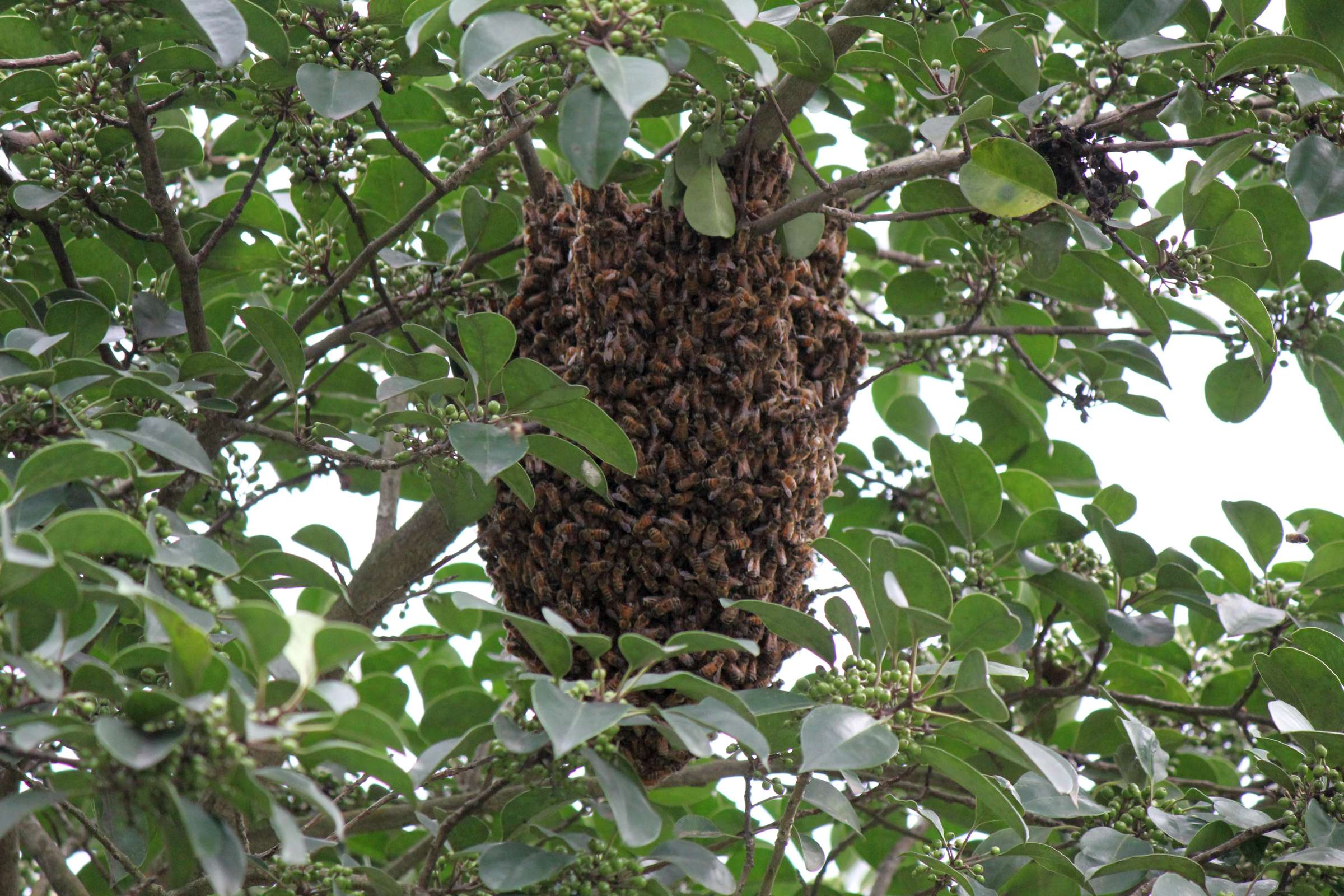 モチノキにミツバチの巣