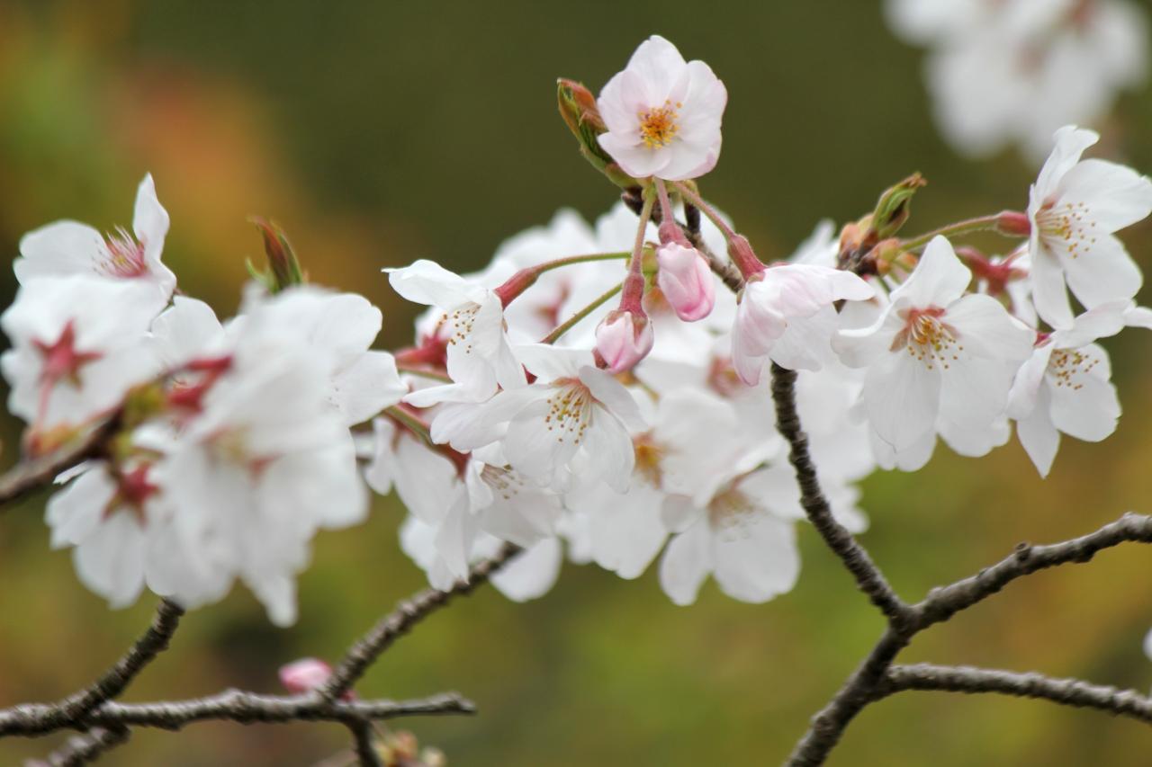 花見@鹿児島県立吉野公園
